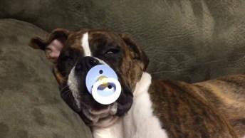 Cachorro Gosta De Chupar Biquinho Pra Dormir, Olha Só A Fofura!
