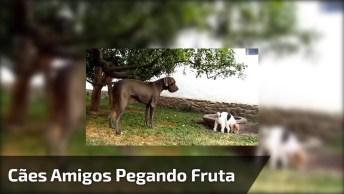 Cachorro Grande Ajudando O Cachorro Baixinho A Pegar Frutas Na Árvore!
