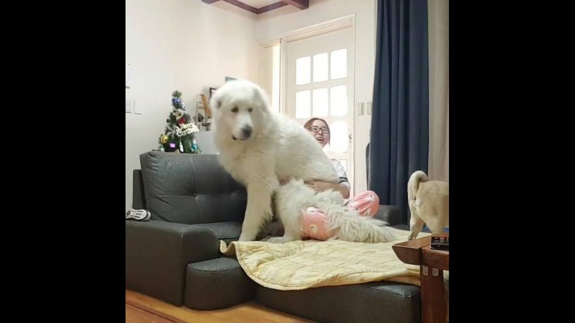 Cachorro grande deitando com a mamãe no sofá