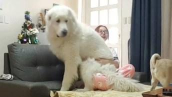 Cachorro Grande Deitando Com A Mamãe No Sofá, Veja A Carinha Dele!