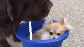 Cachorro Grande Passeando Com Seu Amiguinho Dentro Do Balde!