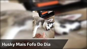 Cachorro Husky Siberiano Mais Lindo Do Dia, Quanta Fofura!