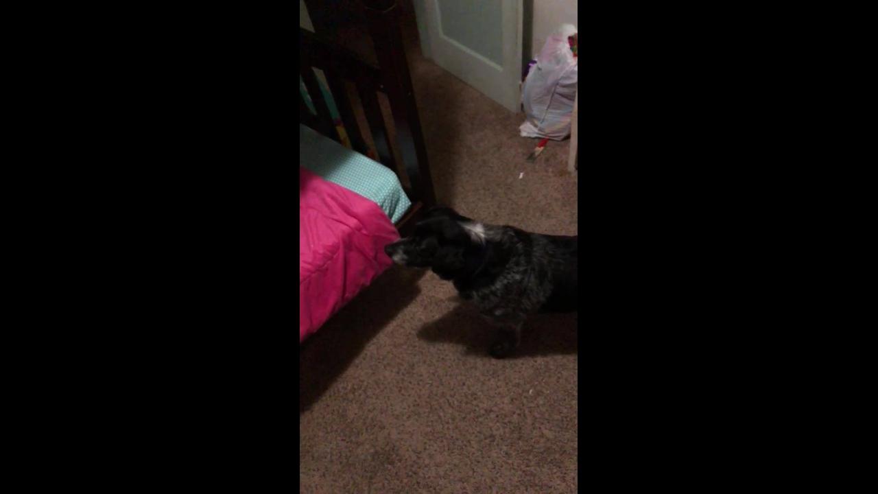 Cachorro indo deitar na sua cama