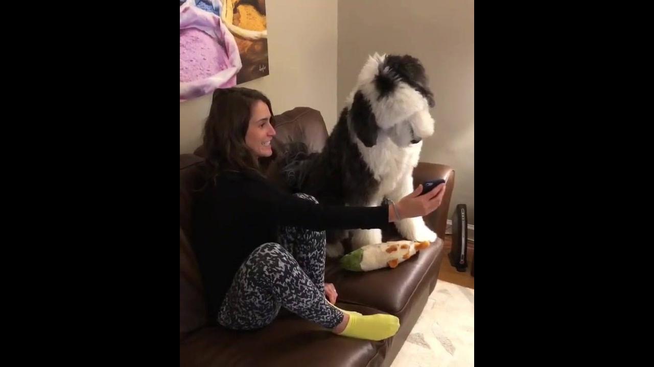 Cachorro intrigado com vídeo no celular