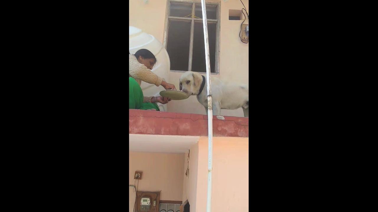 Cachorro Labrador Retriever que espera a mamãe tratar dele para comer