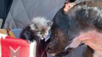 Cachorro Lambendo Filhote De Gatinho Que Esta Miando, Veja Que Lindo!