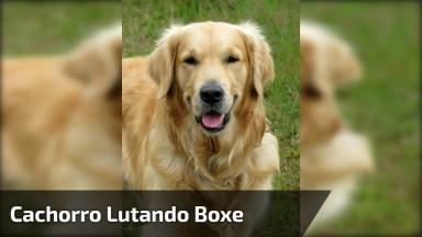 Cachorro Lutando Boxe, Olha Só A Carinha Dele, É Muito Engraçadinho!