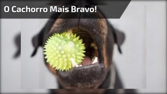 Cachorro Mais Bravo Que Você Já Viu Na Vida, Cuidado Com As Imagens!