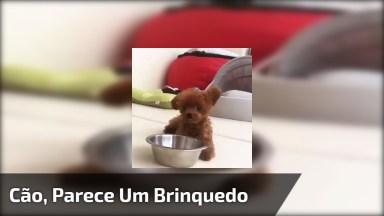 Cachorro Miniatura, Parece Um Ursinho De Pelúcia, Que Fofura!