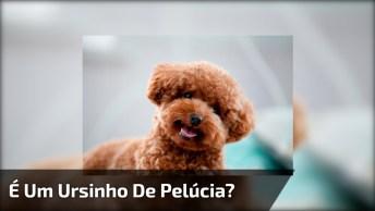 Cachorro Miniatura Que Se Parece Com Um Ursinho De Pelúcia!
