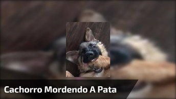 Cachorro Mordendo A Pata Para Chamar A Atenção, Olha Só O Dengo!