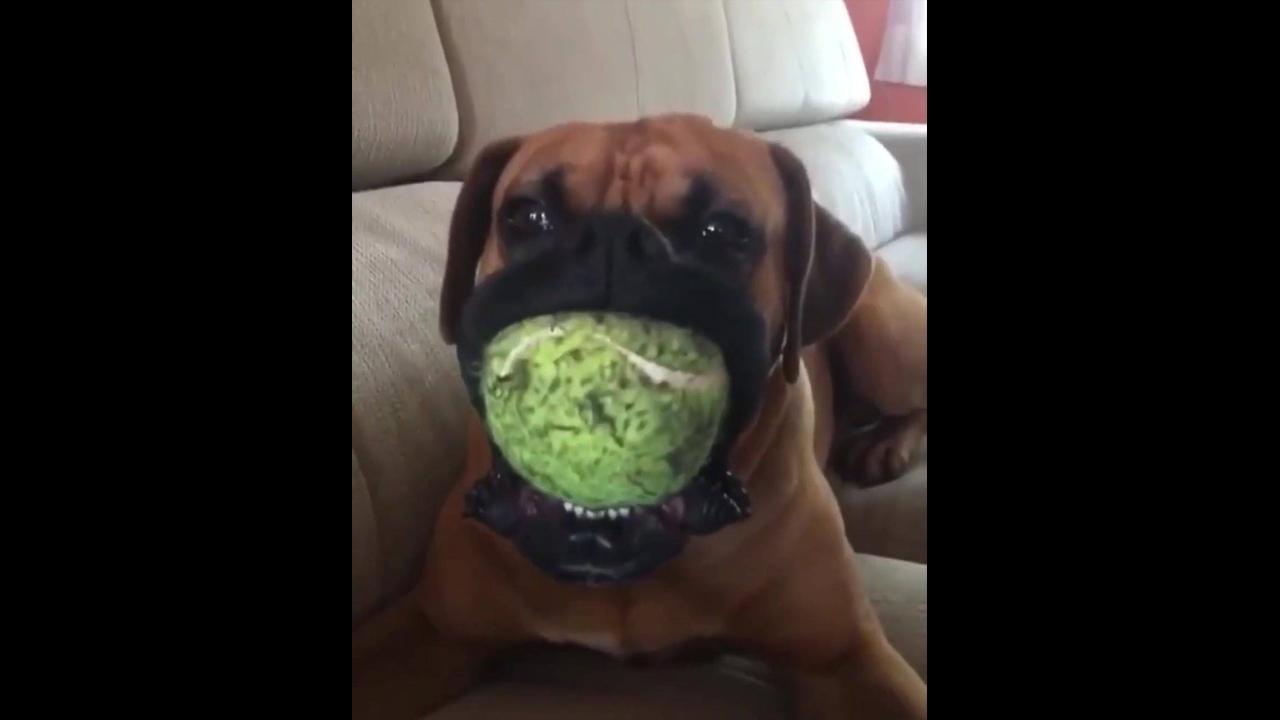 Cachorro mordendo brinquedo com barulho irritante