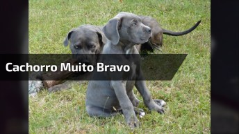 Cachorro Muito Bravo, Mas Ele É Muito Bravo Mesmo Hahaha, Confira!