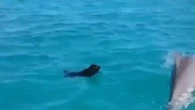 Cachorro Nadando Com Golfinho, Animais Sempre Nos Surpreendendo!