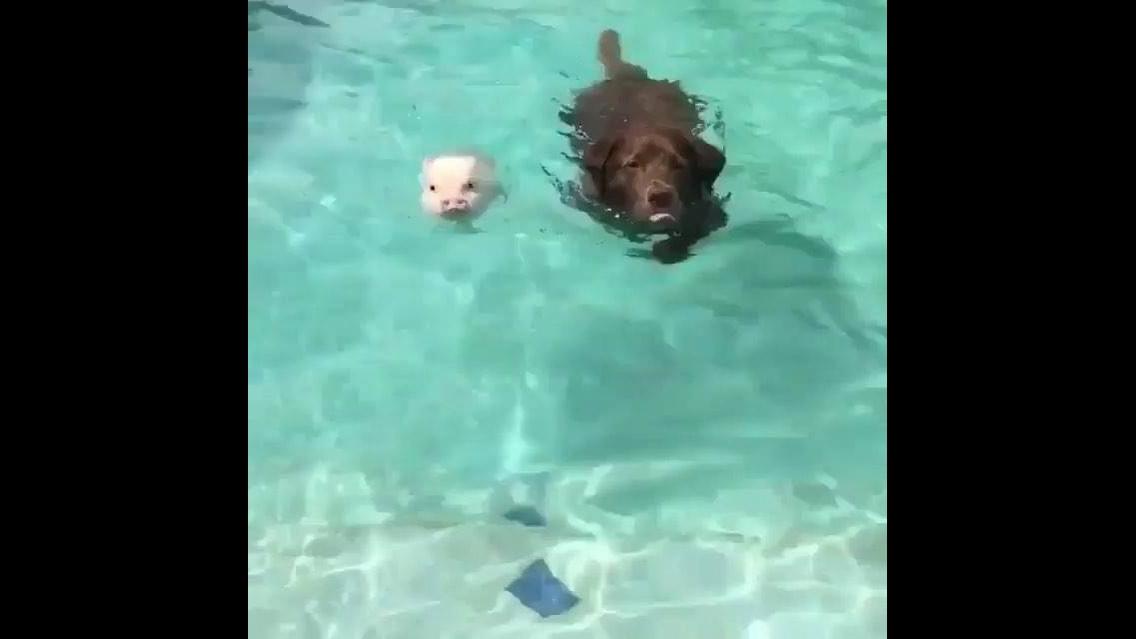 Cachorro nadando com porquinho