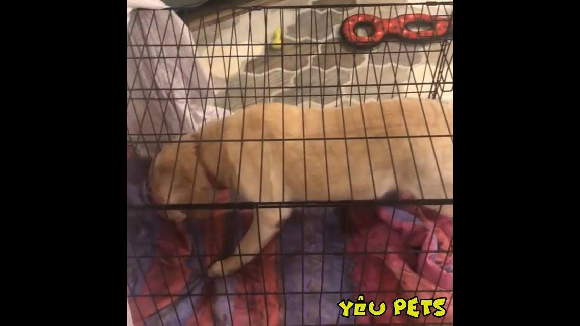 Cachorro não quer entrar na gaiola na hora de dormir, hahaha!!!