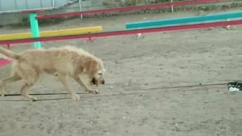 Cachorro Passando Por Pistas De Obstáculos, Ele É Muito Bom!