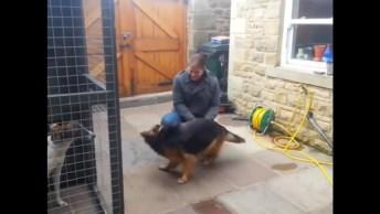 Cachorro Pastor Alemão Recebendo O Seu Dono, É Muita Emoção!