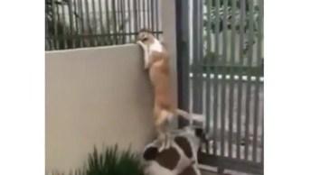 Cachorro Pede Ajuda De Amigo Para Conquistar Vizinha, Quem Nunca?