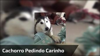 Cachorro Pedindo Carinho, Veja O Que Ele Faz Quando Seu Dono Para De Acariciá-Lo