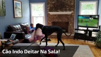 Cachorro Pega Sua Caminha Leva Pra Cima Do Sofá E Deita, Que Lindo!