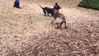 Cachorro Pegando Brinquedo No Ar, Veja Como Se Diverte Brincando!
