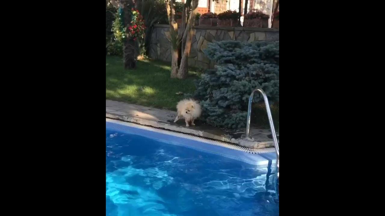 Cachorro peludo cai na piscina e fica com as patas molhadas