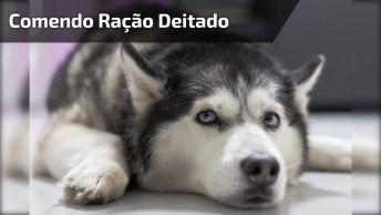 Cachorro Preguiçoso Comendo Ração Deitado, Que Preguiça Boa!