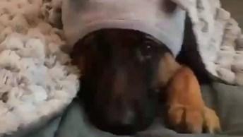 Cachorro Pronto Para Dormir, Esta Até De Toquinha, Deve Estar Frio!