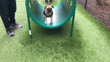 Cachorro Pug Começando A Aprender Comandos De Treino, Confira!