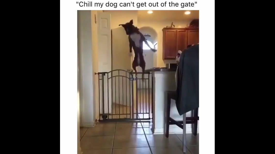 Cachorro pulando a cerca como gato