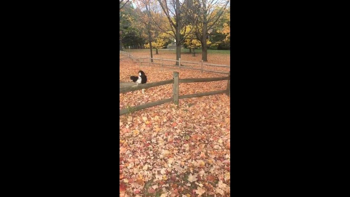 Cachorro pulando a certa, esse cão é muito esperto