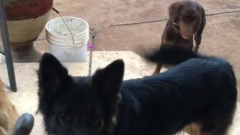 Cachorro Que Adora Brincar Com Bolinhas, Ele É Super Lindo!