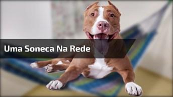 Cachorro Que Adora Tirar Uma Soneca Na Rede, Olha Só Que Esperto!