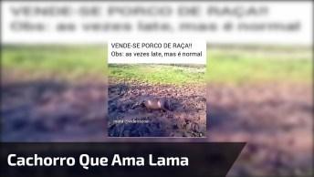 Cachorro Que Ama Lama, Parece Mais Porquinho, Veja A Felicidade, Kkk!