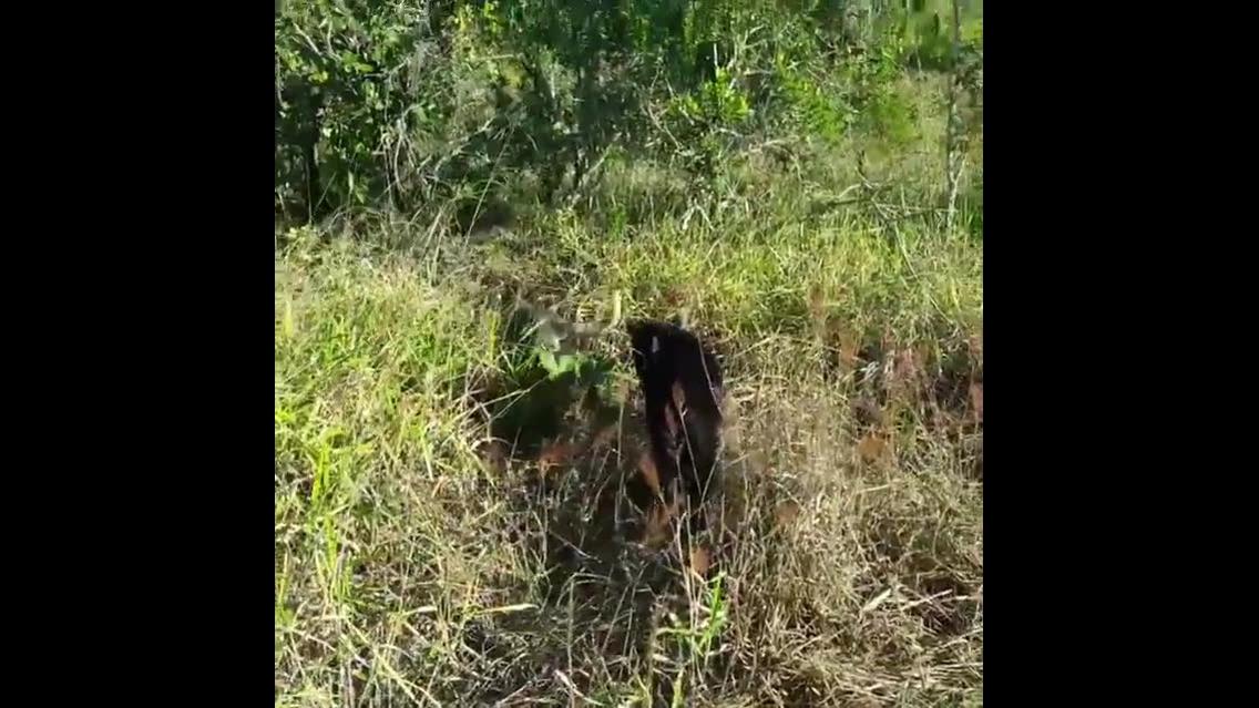 Cachorro que convive com pantera negra