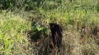 Cachorro Que Convive Com Pantera Negra, Olha Só Que Fantástico!