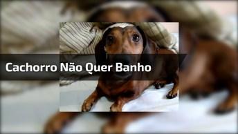 Cachorro Que Não Gosta De Tomar Banho, Veja Como Ele Fica Bravo!