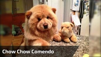 Cachorro Que Parece Um Urso De Pelúcia Comendo Seu Papa, Que Fofura!