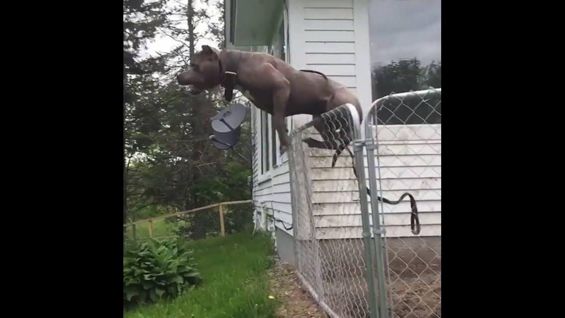 Cachorro que pula bem alto