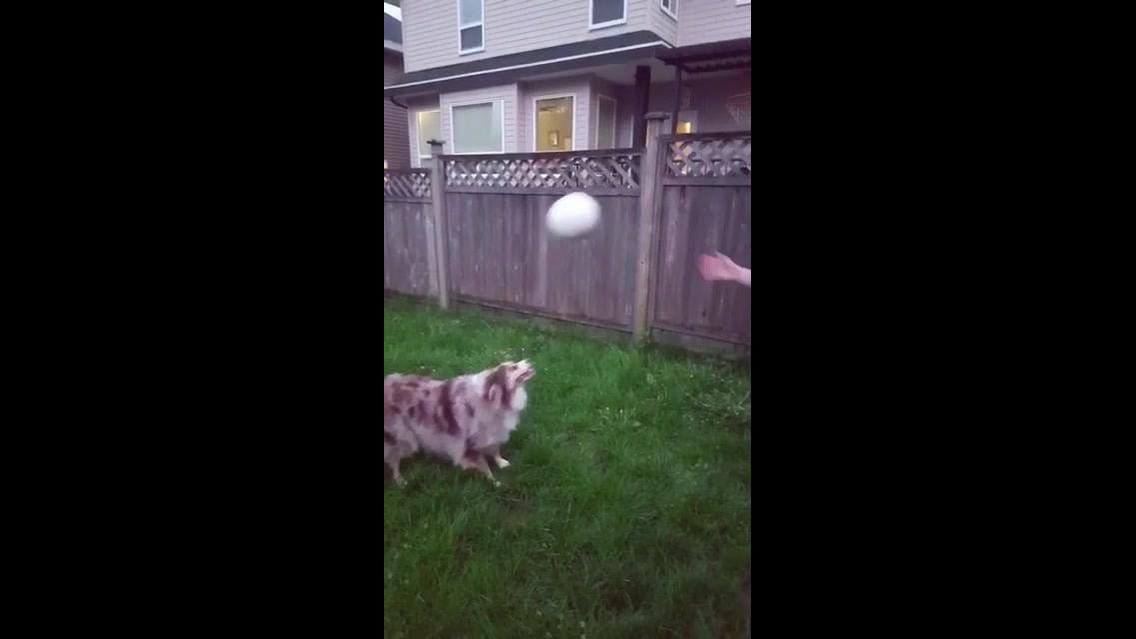 Cachorro que sabe jogar bola, ele é muito esperto, confira!