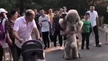 Cachorro Que Se Parece Com Um Urso De Pelúcia Gigante, Ainda Pede Colo!
