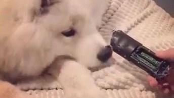 Cachorro Recebendo Bronca Porque Destruiu Controle, Olha A Cara De Sapeca!