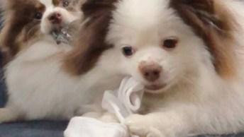 Cachorro Roubando Meia Do Outro E Levando Uma Mordida Em Sua Bandana Hahaha!