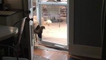 Cachorro Sabe Abrir A Porta Para Poder Entrar Em Casa, Olha Só Que Espertinho!