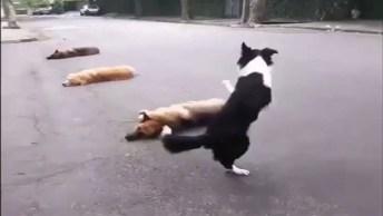 Cachorro Salta Três Outros Cachorros Em Pé, Confira!