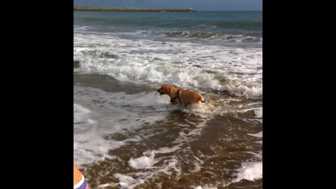 Cachorro se divertindo na praia, olha só a alegria deste amigão!!!