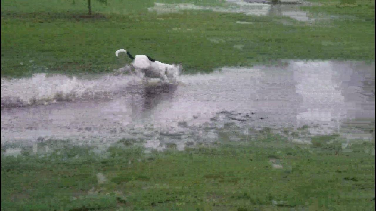Cachorro se divertindo nas poças de água no quintal