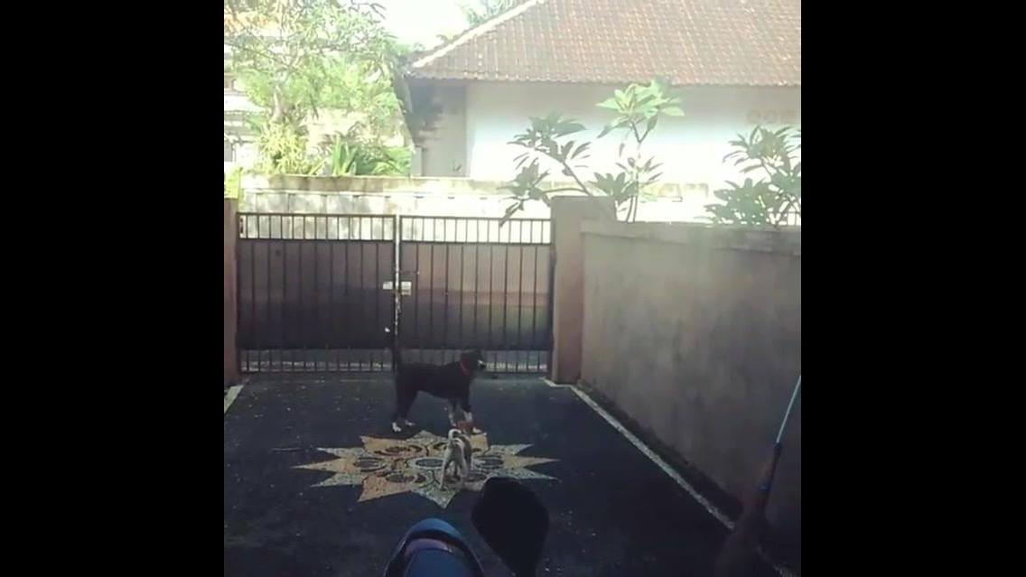 Cachorro sobe muro igual gato