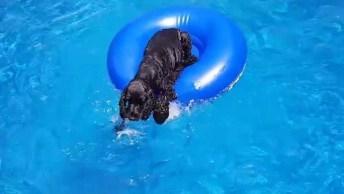 Cachorro Sobe Na Boia Para Poder Catar Sua Bolinha Na Piscina, Que Fofo!